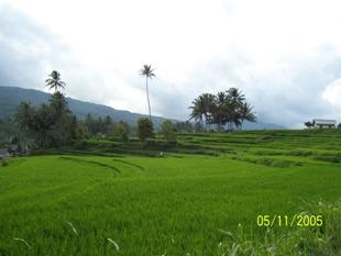hamparan padi - dari solok menuju padang panjang